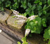 こんな花を見付けました。 シソ科の花だと思いますが、何と言う植物かご存知の方がいらっしゃいましたらお教え下さい!