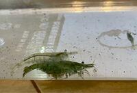 近くの川で捕まえたエビです。 このエビの種類を教えてください。 また、メダカと一緒に睡蓮鉢で飼うことはできるのでしょうか?