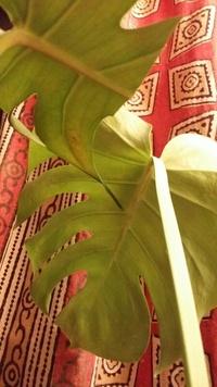 モンステラの葉っぱが部分的に茶色くなったり、全体的にまだらに緑が薄め(黄色っぽくなってくる) 葉脈に茶色い点々とした部分がある 等は、何か病気でしょうか 円形に茶黒になった部分がある葉っぱは、カットしてみました。 改善方法があれば、お願いします。