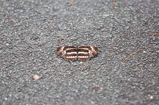 このチョウ(蛾)の名前を教えてください。撮影は7月上旬兵庫県です。よろしくお願いいたします。