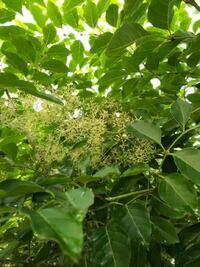 シマトネリコに花(?)のようなものが生えてきました。これは何でしょうか? 植樹から5年近く経ちますが、初めて見ます。 どうすればいいでしょうか?教えてください。