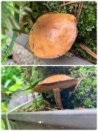 松の盆栽から出ていたこのキノコはなんと言う名前でしょうか? わかる方居たら教えて頂きたいです。