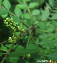 つぼみが付いた木の名前を教えてください、 岐阜県米田白山で、 撮影20210714