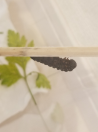 キアゲハの幼虫ですが、昨日前蛹だったのですが朝起きたら真っ黒になってました。 こちらはもうお亡くなりなってますよね…?
