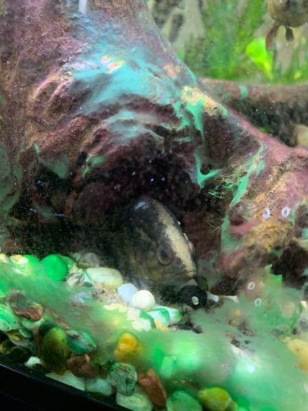 魚の病気について 飼っているオヤニラミが最近元気が無くてなかなか表に出てきてくれません 頭の所が少し白くなっています これは何かの病気でしょうか?