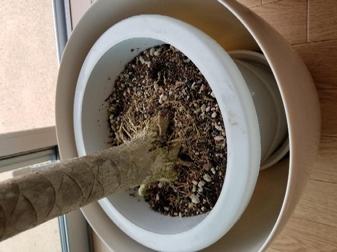 観葉植物 ドラセナ これ根みたいのが買った時から出まくってますけどこのままで大丈夫ですか?