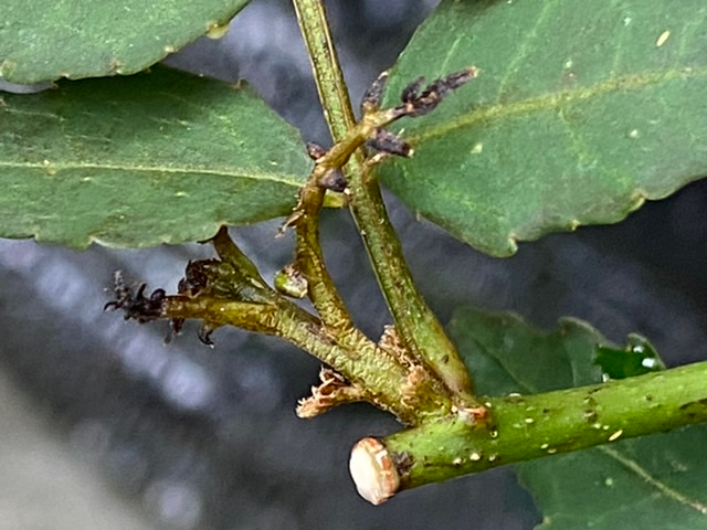 園芸初心者です。 山椒の新芽がや若葉が出ますが すべて黒くなり葉が落ちてしまいます。 葉の色もくすんできました。 山山椒と朝倉山椒の苗木、各50センチ程度です 現在7月16日です。 病気なのか害虫なのか判断できず困っています。 写真を添付しますので詳しい方がいらっしゃれば原因と改善する薬剤を 詳しく教えていただけますよう お願いいたします。