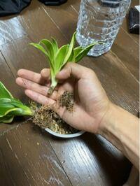 サンセベリアの根が取れてしまいました。 どうすれば良いでしょうか?  根詰まりを起こしており、一ヶ月ほど前に株分けしていたものです。 水をあげすぎないように、窓越しの日の当たる場所に置いていました。 トラノオなどは葉っぱだけ売られてたりしますが、これでもまだ復活できるでしょうか?