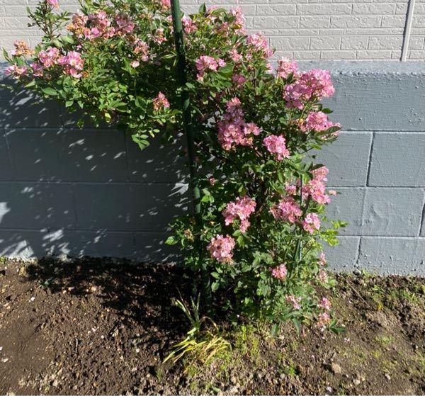バラは余り詳しくありませんが、 このバラ、一重、房咲きのように見えますが 形から見ると蔓バラではありませんよね? ブッシュタイプでもなく 木立でもなければ、 どんな種類になりますか? 枝が混み合っているようにも見えますが 名前などわかる方いませんか? よろしくお願いします。