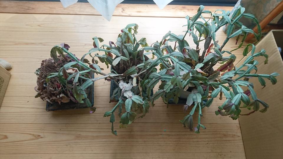 この植物の名前を教えて下さい これで枯れないで花がたまに咲きます