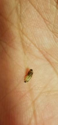 ゴミ箱にこんな虫が湧いていました。 なんていう虫かわかる方いますか? ちなみに飛ぶことができて、小さい米粒くらいのサイズです。潰すと白濁の汁が出てきます(お腹に溜まってるやつです)。