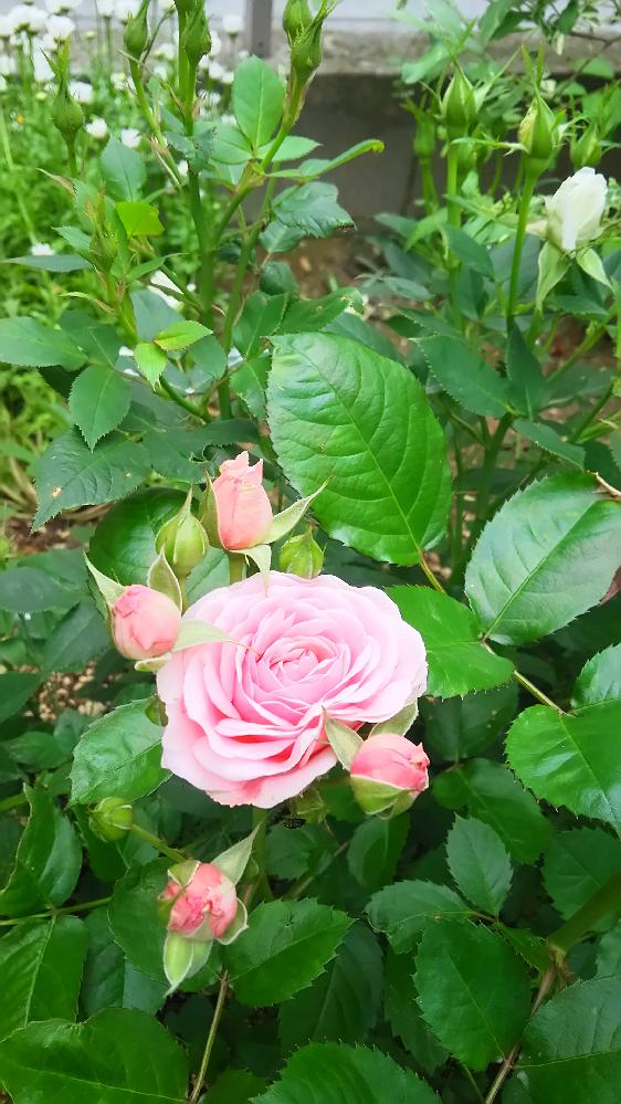 ミニバラを昨年地植えにしました。 バラの種類が多数あることは、勉強させていただき知りました。 それでもなお、出来れば名前が知りたいです。 花の径は6㎝、5月初旬の1番花です。 室内で育てている時は20㎝程でしたが、60㎝とジャンボに成長しました。