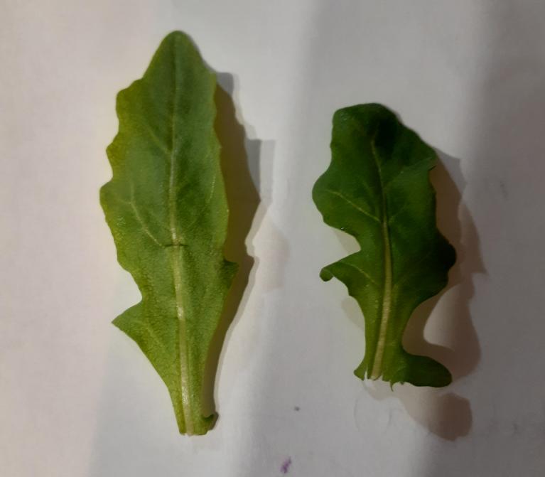 これはなんという植物の葉っぱですか? サラダ用のmix leaves を買いました。中にはいろんな種類の食用の葉っぱが入ってます。 そのうちの一つに添付写真の葉っぱが入っているのですが、これはなんという名前の植物でしょうか?? いろいろな種類がはいっているのでどれか見当がつきません。 この葉っぱ、死ぬほど不味いです。 苦味というか、何か腐った食べ物を食べているような独特な後味があり、とにかく不味いです。 それ以外の葉っぱは問題ないのに、これが1枚でも混ざっていると一緒に口にいれた他の葉っぱまで不味くなります。家族にも大不評でした。 これはいったいなんなんですか。