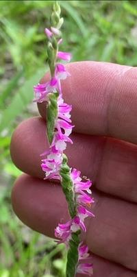この花の名前分かりますか? 関西でこの7月に撮影。 平地の草むらで見つけました。 指と比べてとても小さい花です。