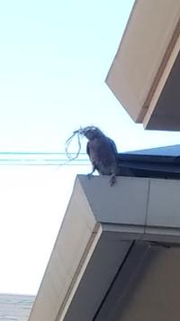 鳥の名前を教えてください。 自宅の木に巣を作ろうとしていました。この鳥の名前を教えていただけないでしょうか? よろしくお願いいたします。