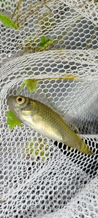 【ビオトープ】謎の魚が発生しました。。。なんの魚ですか?  4ヶ月前より庭でビオトープを立ち上げ楽しんでいます。 投入したもの ・アカヒレ5 ・ヒメダカ3 ・ヒメタニシ10 ・ミナミヌマエビ30 水草 ・アナカリス ・ホテイ草 ・アマゾンフロッグピット  本日みたら見たことない魚が5-6およいでてそれが写真の魚です。 考えられる経路として、 アナカリスを近場の河川から採取したので卵?がついて...
