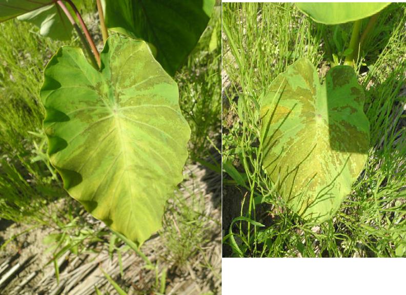里芋の葉が茶色く変色しています。日に日に茶色の部分が大きくなっているようです。病気でしょうか?原因は何でしょうか? 対応、対策できることがあれば教えて下さい。初心者です。 15株くらい植えているのですが、ほとんどの株が同じような状態で1株につき1~2枚がこのような状態になっています。