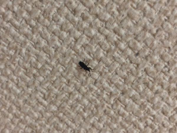この虫は何でしょうか? ちなみにゴキ赤ではなさそうです。 少し似ていますが