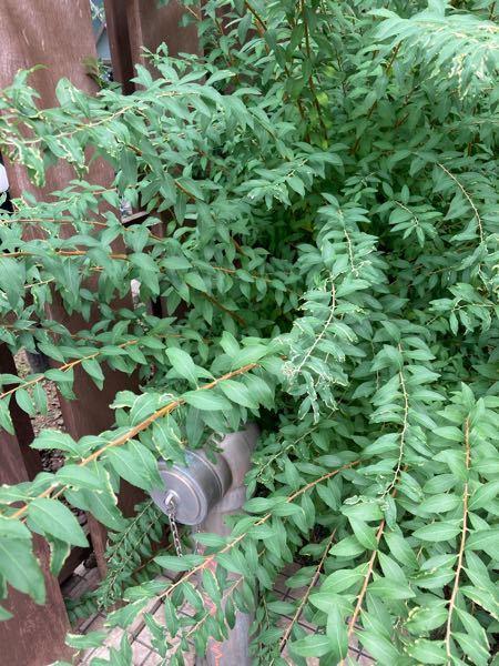 これは何という植物ですか? 庭に植えたいとおもいます。