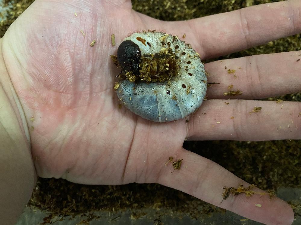 ヘラクレスリッキーの幼虫について ヘラクレスリッキーの幼虫についての質問です。先日ペットショップで購入したヘラクレスリッキーの幼虫なのですがこれは本当に二令幼虫なのでしょうか? 購入した際ケースの方に 「12月孵化 初二令」との記載があるのですが、調べてみたところ7ヶ月も経過しているのに二令幼虫のままなのは遅すぎるのではないかと感じました。これは普通なのでしょうか? 有識者の方ご回答よろしくお願いします。