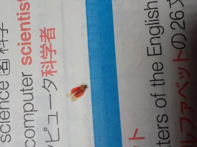下の虫はなんでしょうか? 色が綺麗で可愛いのですが名前が分かりません… とても小さいです。写真を見れば分かる通り赤い羽でふちが薄黄色です。 もし誰か分かる方がいたら教えてください。