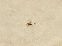この虫…なんですか?  自宅の空気清浄機のフィルターに時々この虫がいるのですが、名前わかる方いたら教えてくださいm(_ _)m