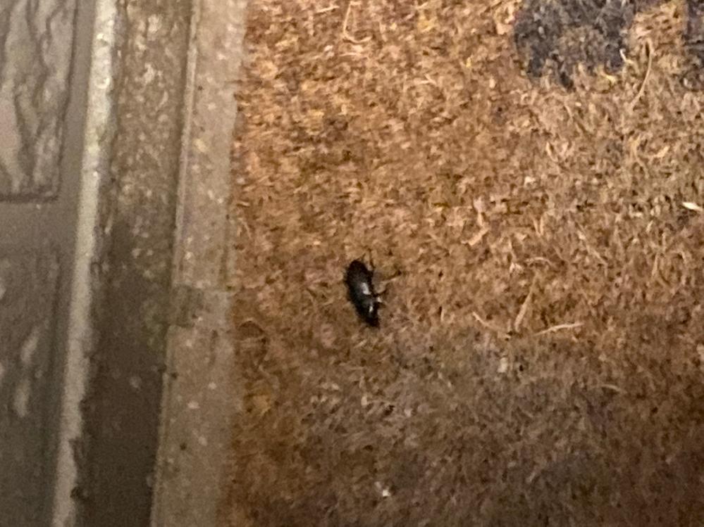 アパートの玄関にこの虫がいました。。 黒くて、白い線はなかったです。 触覚もそこまで長くはなかったのですが... ゴキちゃんでしょうか... 画像が不鮮明で申し訳ありません。