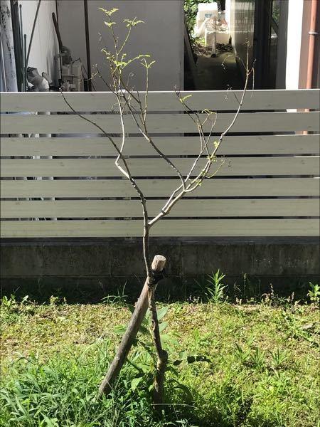 トネリコ5年目ですが、なかなか背が伸びません。 背を伸ばそうと剪定したところ、葉っぱまで付きにくくなりました。 なんとかなりませんかね?