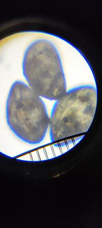 この微生物の名前を知りたいです。 屋外のミナミヌマエビ水槽に繁殖しています。