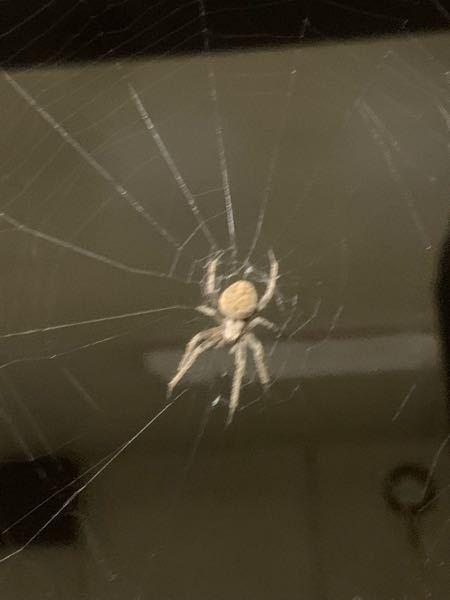 アパートの廊下に湧いているこのクモはなんというクモですか??