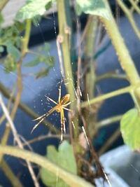 蜘蛛の種類に関して 今朝洗濯物を干していた所 蜘蛛を発見したのですが これは何という蜘蛛でしょうか? 毒などは有りますでしょうか? 宜しくお願い致します。