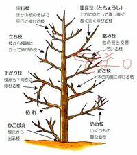剪定で、  ✖︎をカットするとスペースが空くので、 ◯の枝が伸びてもいいよね。  ということなのか。 ◯も伸びたらカットになるのか。  どうなのでしょう、、、。
