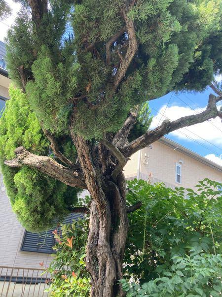 この樹木は何ですか? カイヅカイブキ?ビャクシン?