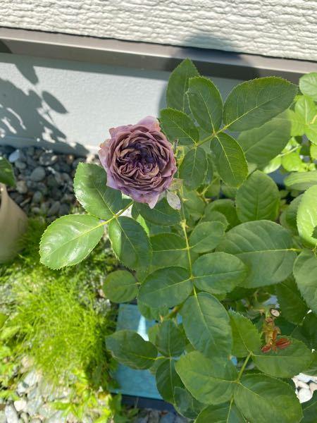 バラの不調?について。 バラが写真のように咲きかけでも、枯れてしまったかのようにシワシワになってしまいました。 どのような異常が発生してると考えられますか? 良ければ、対処方法も教えていただけると幸いです。 5月初旬に大苗を購入し、鉢増ししました。 以降は、表土が乾いたら水やりし、固形肥料を二ヶ月に一回、2錠施行しています。(鉢のサイズは10号と記憶しています) 6月頃までは綺麗に花を咲かせていたのですが、7月に入ってから急にこのようになってしまいました。 よろしくお願いします。