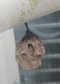 これ何!!!?? 2階のベランダ、室外機のホースに何か出来てる。 何年か前は割と大きめの蜂の巣が出来てて女王蜂共々倒した。 けど、これは何??