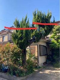 自宅のカイヅカイブキの木ですが、 上の方が軽トラの荷台に、大きめの脚立を借りて載せて切らないと、 上手く剪定できません。 (剪定に関しては素人です)  画像の上の方を赤線のように、バッサリいっちゃいたいんですが、 大丈夫ですか?