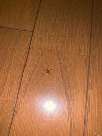これはユウレイグモでしょうか? ザトウムシでしょうか? はたまた別の蜘蛛なんでしょうか? わかる方教えてください!