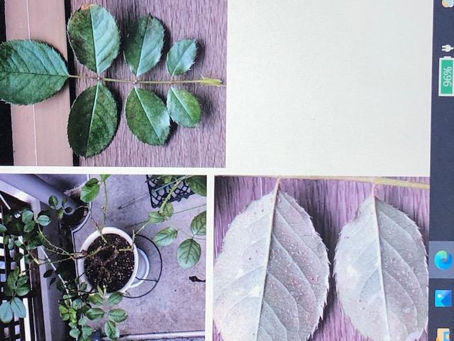 バラの病気について教えてください。 ホリデイアイランドピオニー四季咲きの鉢植えです。 添付の写真のようにクロロシス病のような葉の裏をみると白いプツプツしたようなものと茶色いプツプツしたものがつい...