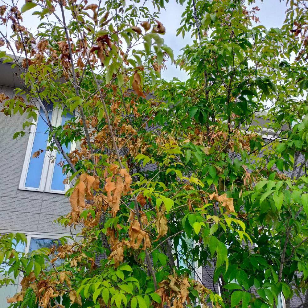 アオダモが枯れ始めています。 13年前に植えたアオダモがあります。 カイガラムシなどの害虫がついたりしたこともありましたが、何とか回復して育っていました。 しかし、今年は様子がおかしく、以下のような状態です。 6月下旬 緑色の元気な葉っぱが数枚ついた小枝(15cmの長さくらいのもの)が、切り取られたように1日にいくつも落ちていた(風のせいかなと放置してしまった)。 7月5日 葉先から枯れている枝が、所々に出てきた 7月中旬 枯れている箇所がかなり増えてしまった 毎日確認しているので、葉っぱが斑の枯れ方では無かった気がするのですが、今日見たら1箇所だけ茶色の斑点がある病気のような葉っぱもみつけました。 また、カイガラムシの幼虫の予防に、毎年アドマイヤー顆粒を撒いていたのですが、撒き忘れてしまい、5月頃に気づいたら幼虫が発生。すぐにアドマイヤーを撒いたのですが、心配になり、初めて住友化学園芸のベニカxファインスプレーを購入し、かなりの量を吹きかけてしまいました。 薬害もあるのかもしれませんが、確認の仕方もわかりません。 何か予想される事やアドバイスを頂けると幸いです。よろしくお願い致します。