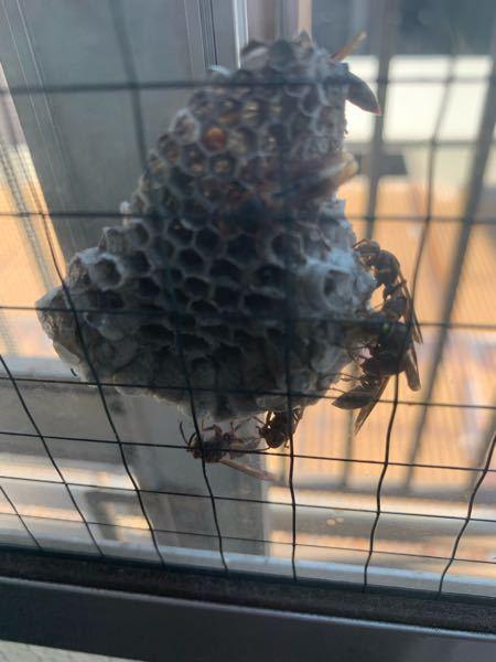 網戸に蜂の巣ができていました。何という種類のハチでしょうか?