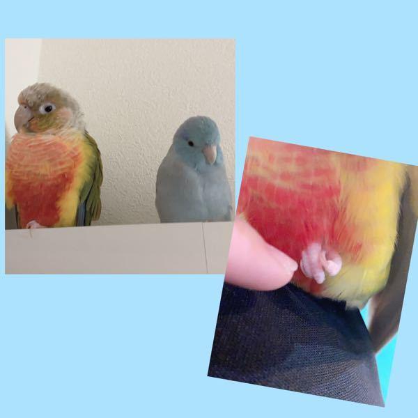 鳥好き高校生です! 突然ですが鳥好きの皆さんに質問です! 皆さんは鳥のどんな所が好きですか? (見た目や仕草など…) 私は足の鱗感とその足をギュッと握る仕草がたまらなく好きです!おしりも可愛くて好きです! 皆さんと鳥の可愛さを共有したいので是非ご回答よろしくお願いします!(●︎´▽︎`●︎) 写真はうちの子達でウロコインコのもずくとマメルリハのラムネです!親バカです( ´﹀` )(汗)