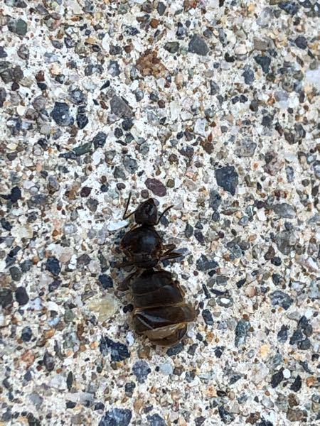 これ女王蟻だと思うのですが、何の蟻でしょうか?