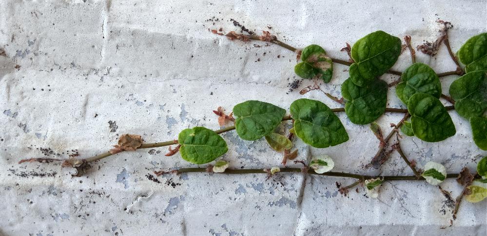 フィカスプミラの成長が止まっている事に気がつかず、今日良く見たら、写真の様に全ての先端が虫にやられていました。 玄関先花壇の壁に這っているもので、害虫については忘れていて発見が遅れてかなり残念です。数週間程前は大丈夫だったのですが、見る限り葉や茎は大丈夫ですが、今からなんとか出来るでしょうか。 まず殺虫剤噴射してから虫にやられた部分を切り戻しするとまた成長し始めますか?宜しくお願いします。