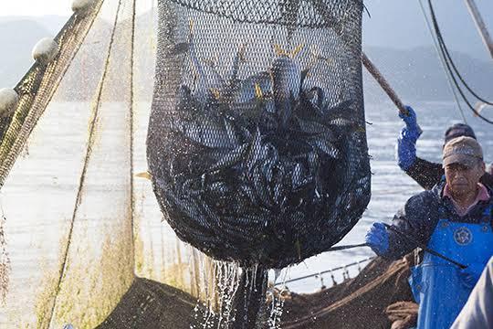 釣りで釣った魚か船の網で取った魚どっちが高く売れるんですかね! 自分の聞いた話なんですけど下の写真みたいに魚が推し潰れると状態が悪くなって値段が下がると聞いてそれに対し、釣りで釣った魚はあみに比べダメージが少ないから高く売れるとききました 本当ですかね 漁師やってる人とかいたら教えてください