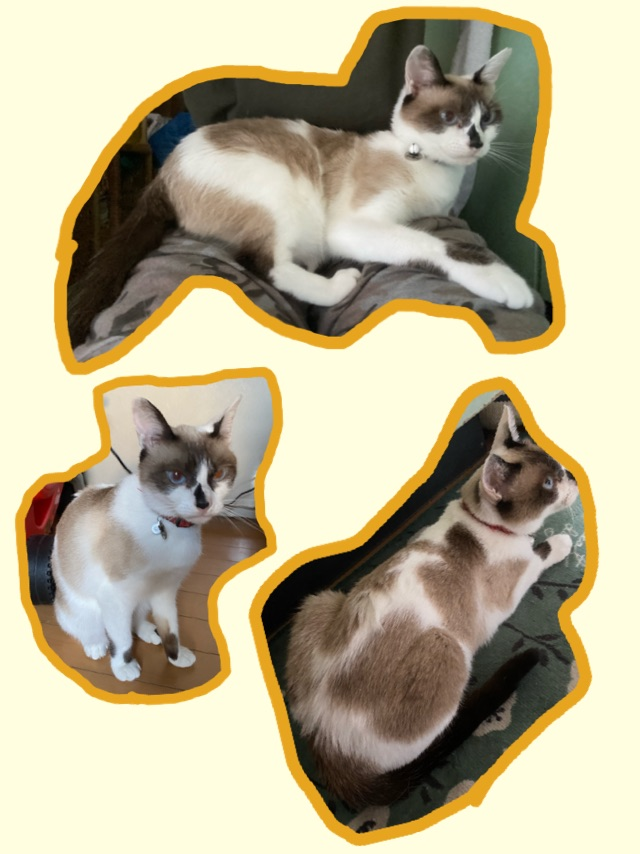 うちの猫。何柄と言ったらいいんでしょうか? しっぽは焦げ茶1色。体と顔は焦げ茶、薄い茶色、白の3色です。茶色の部分にトラ柄はありません。 茶色のブチでしょうか?