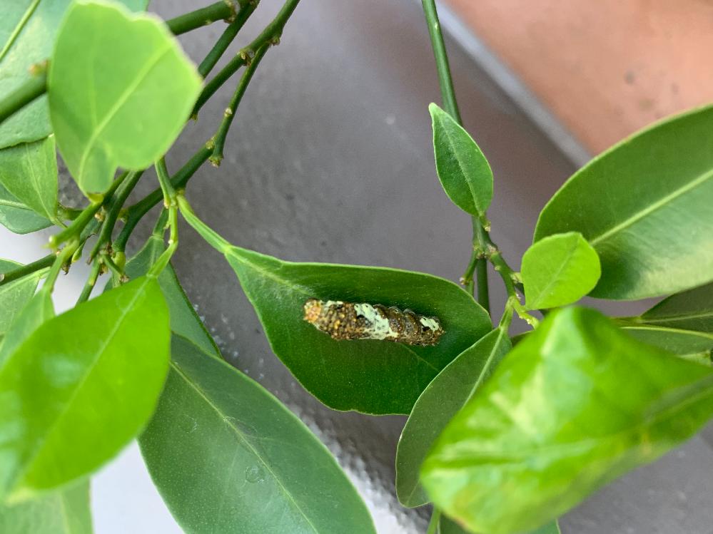 これはなんの幼虫ですか? 幼虫でたくさんググりましたが ヒットしませんでしたので 質問させていただきました。 ちなみにこの苗木なオレンジの木です。 よろしくお願いしますm(_ _)m