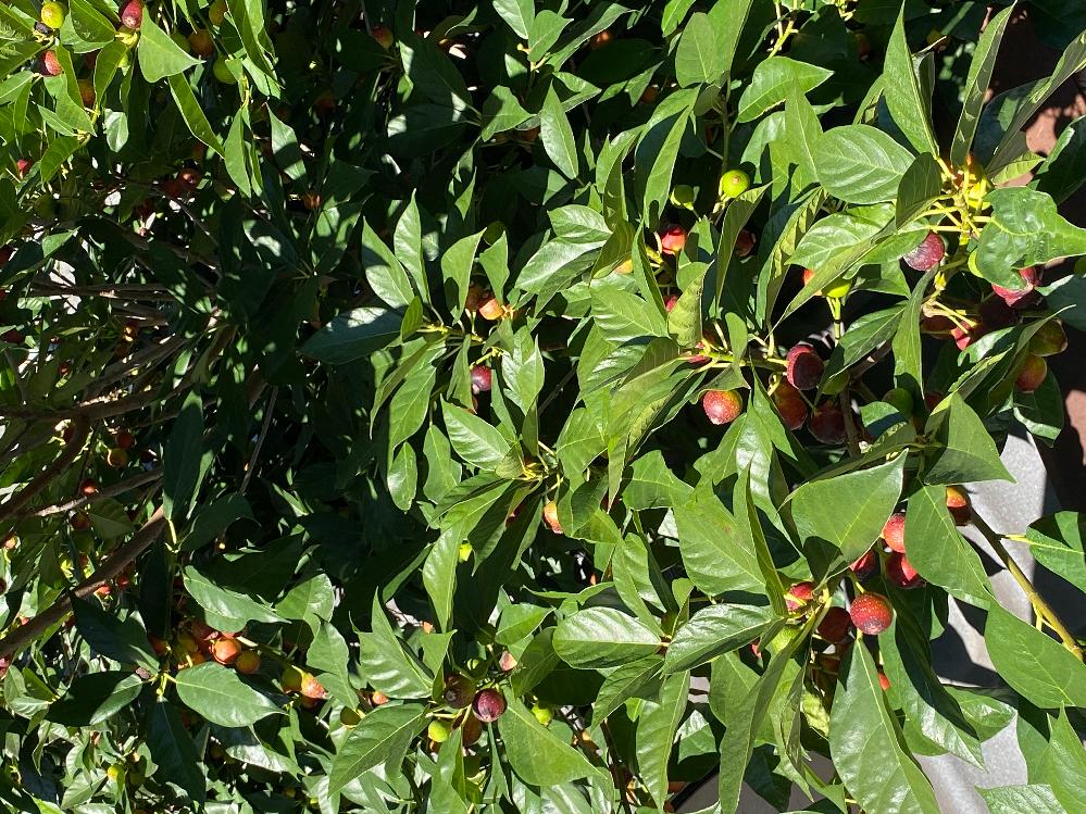この画像の、赤い実の木はなんという木でしょうか? 庭にあります。まあまあ大きい木です。