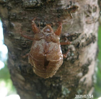 セミの脱け殻の名前を教えてください、 岐阜県美濃加茂市で、 撮影20210724