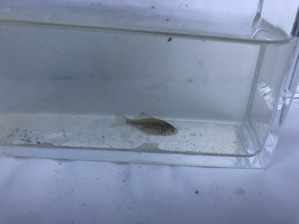 用水路で見つけました。 この魚は何ですか? ギンブナ??