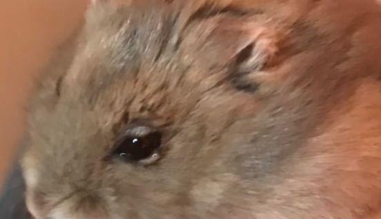 ハムスターの目が、こんな風に腫れてしまってます。自然に治るものなのでしょうか、、動物病院行った方がいいですよね、、?